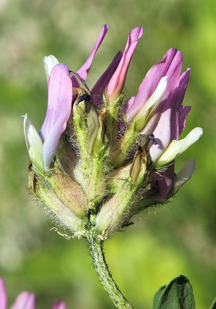 Изображение растения Astragalus ugamicus.