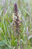 http://www.plantarium.ru/dat/plants/8/857/426857.jpg