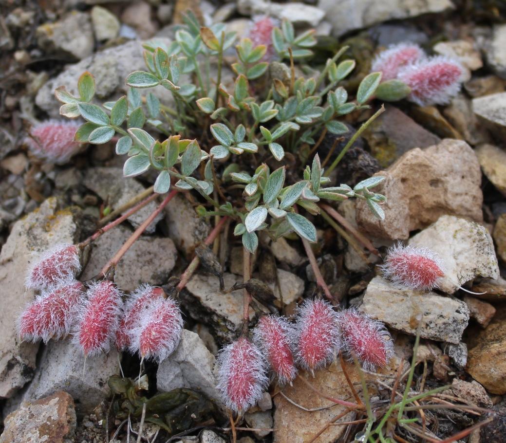 Изображение растения Astragalus kasachstanicus.