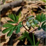 Corydalis intermedia