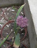Allium akaka ssp. shelkovnikovii