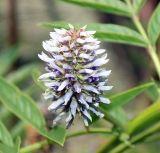 Glycyrrhiza foetidissima