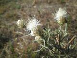 Centaurea margaritacea