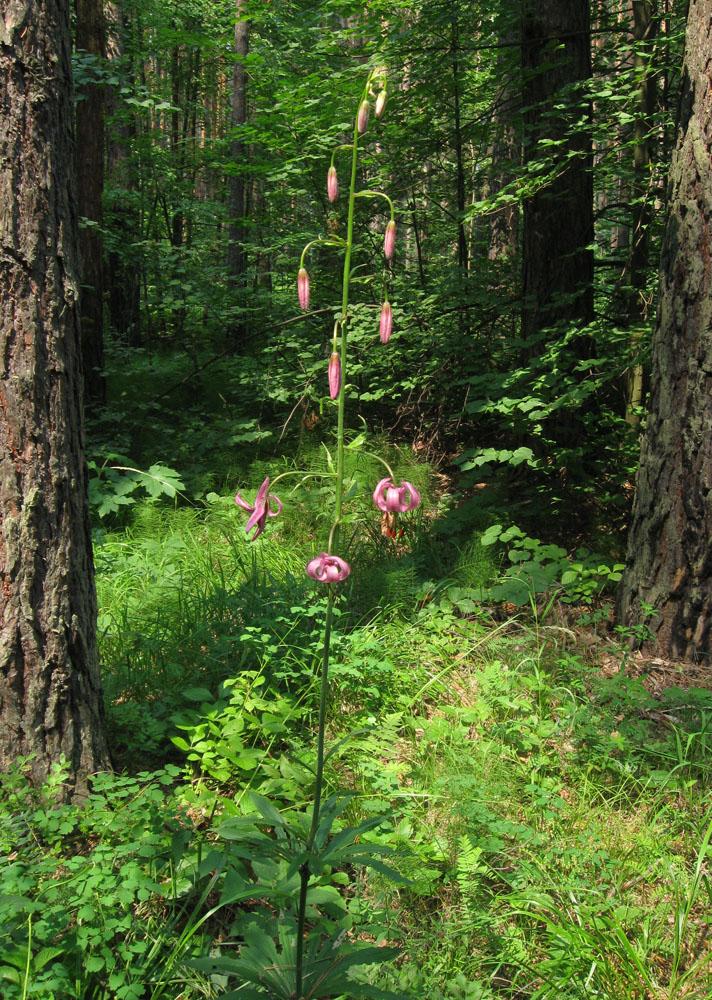 Лилия саранка (Lilium pilosiusculum). Автор фото: Олег Селиверстов