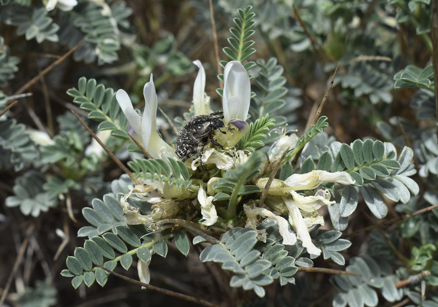 Изображение растения Astragalus tragacantha.
