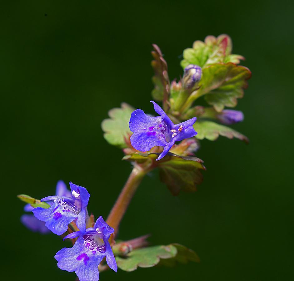 Будра плющевидная(Glechoma hederacea ). Автор фото:Виталий Гуменюк