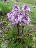 Pedicularis anthemifolia