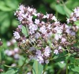 душица обыкновенная ботаническое описание
