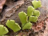 Adiantaceae