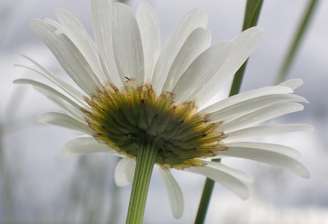 Нивяник обыкновенный (Leucanthemum vulgare) Автор фото: Наталия Панкова