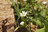 Cerastium fischerianum