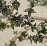 Salsola pontica
