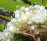 Sorbus aucuparia ssp. glabrata