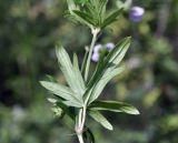 Geranium dahuricum