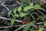 Solanum kitagawae