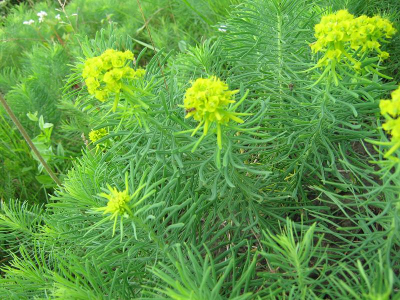 Hallo wer wei was das f r eine pflanze ist pflege pflanzen - Wolfsmilch zimmerpflanze ...