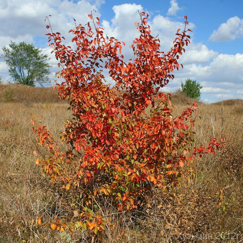 Груша лесная (Pyrus pyraster)