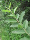 Salix pseudomedemii