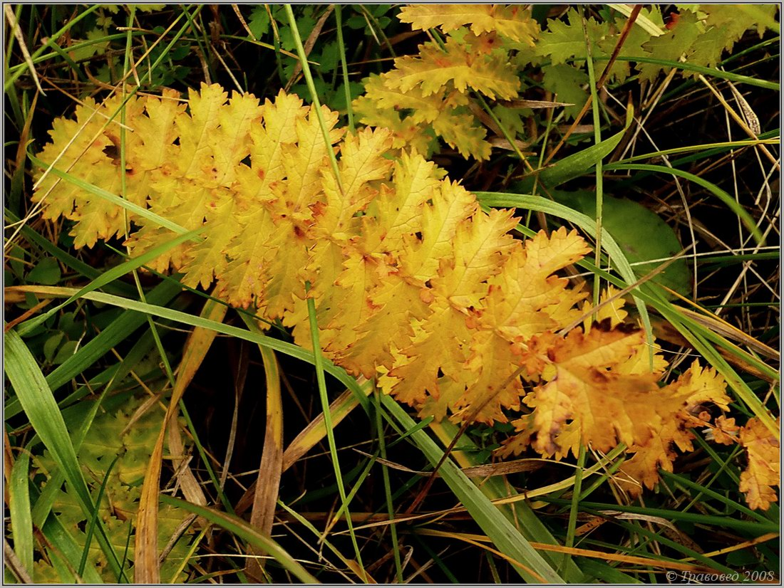 Лабазник обыкновенный (Filipendula vulgaris). Автор фото: Сергей Апполонов