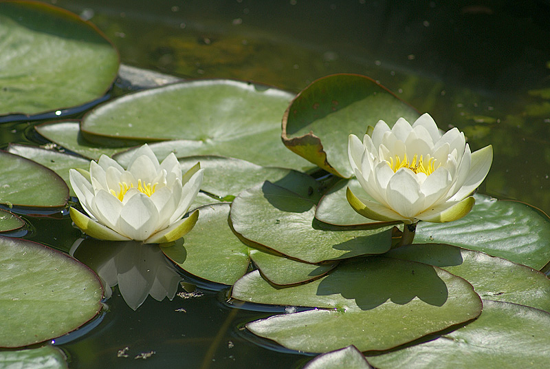 Кувшинка чисто-белая(Nymphaea candida) Автор фото: Виталий Гуменюк