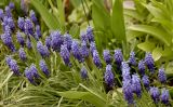 Muscari botryoides