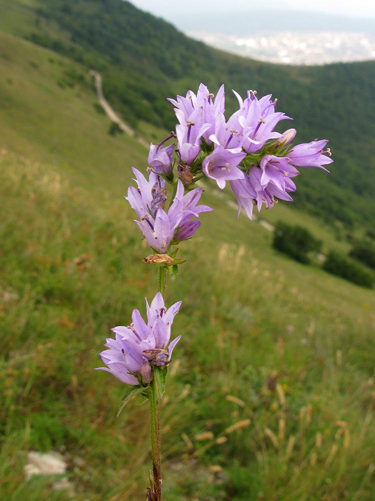 горные цветы краснодарского края фото названия воли ежа