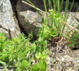 Cruciata pseudopolycarpa