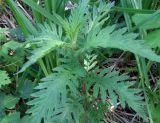 Lycopus × intermedius