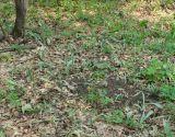 Tulipa biebersteiniana