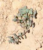 Euphorbia chamaepeplus