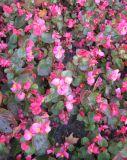 Begonia × hortensis