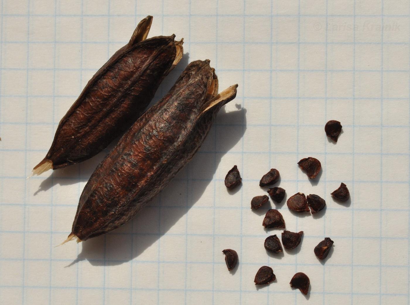 более востребованным семена ириса картинки раз можно