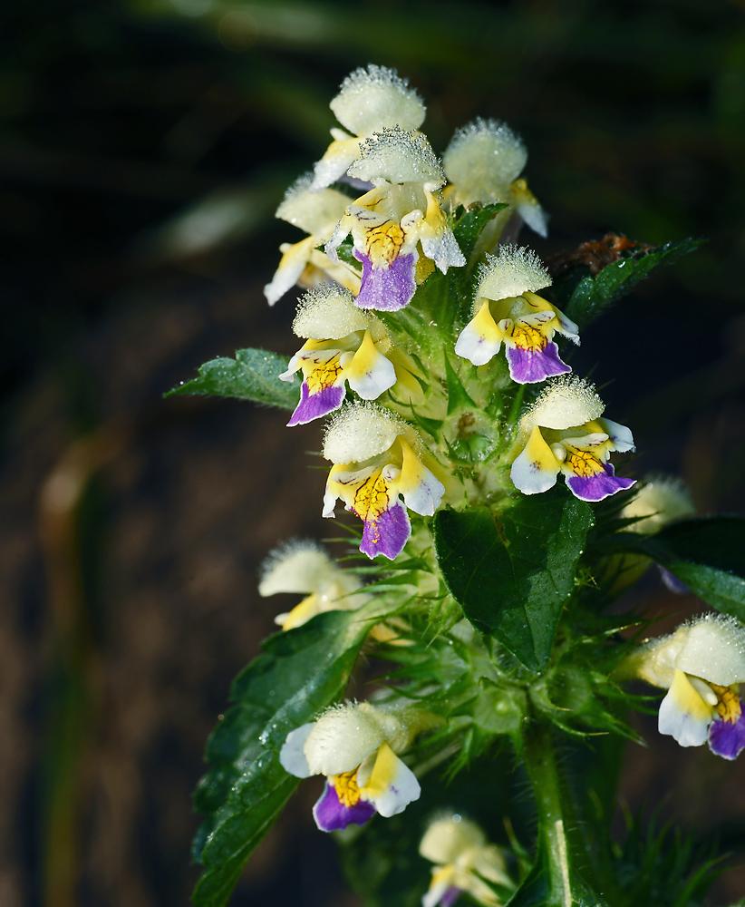 Пикульник красивый (Galeopsis speciosa) Автор фото: Виталий Гуменюк