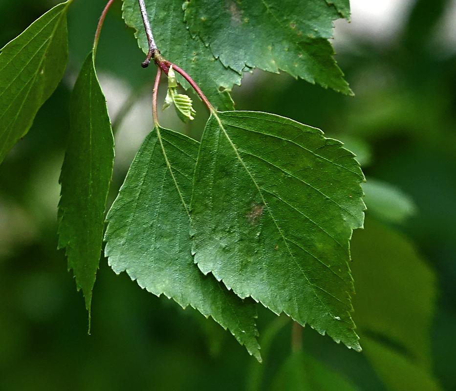 http://www.plantarium.ru/dat/plants/8/888/512888_6b9c5133.jpg