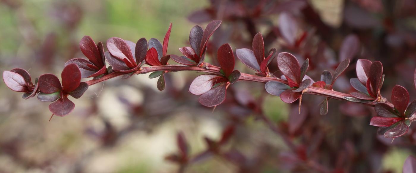 Барбарис Тунберга (Berberis thunbergii)