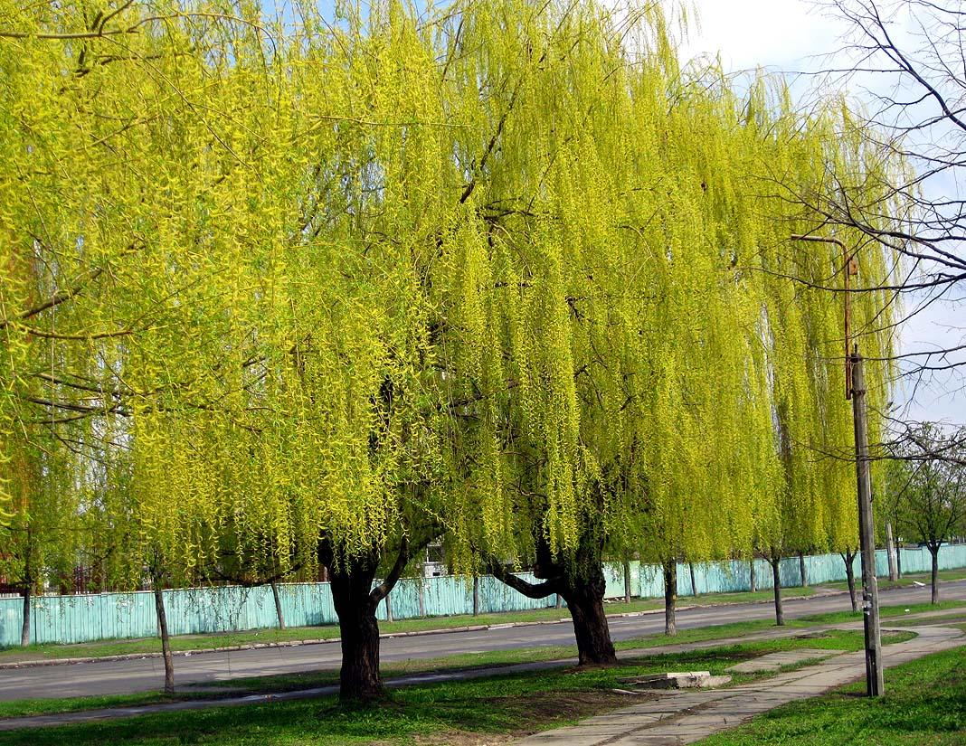 Ива вавилонская - Salix babylonica - Изображение растения - Плантариум