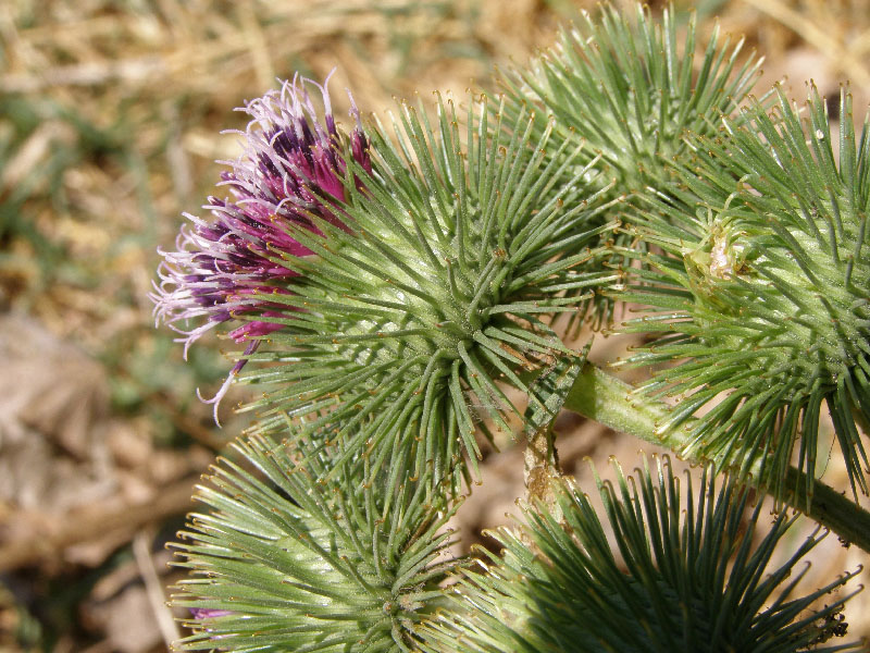 Изображение растения Arctium leiospermum.