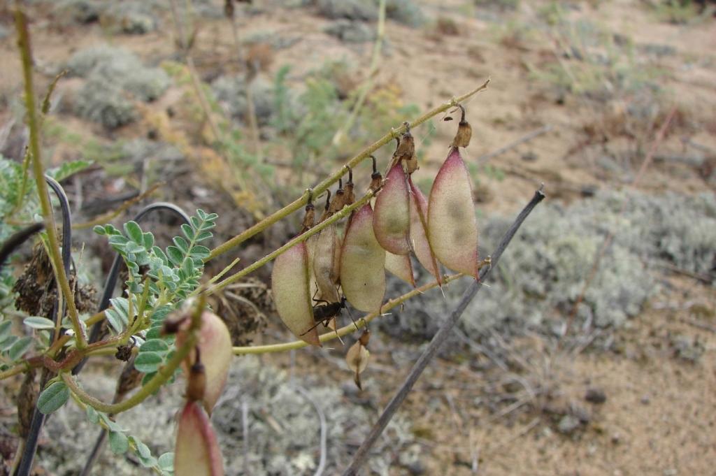 Изображение растения Astragalus sericeocanus.