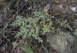 Herniaria incana
