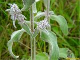 Stachys germanica