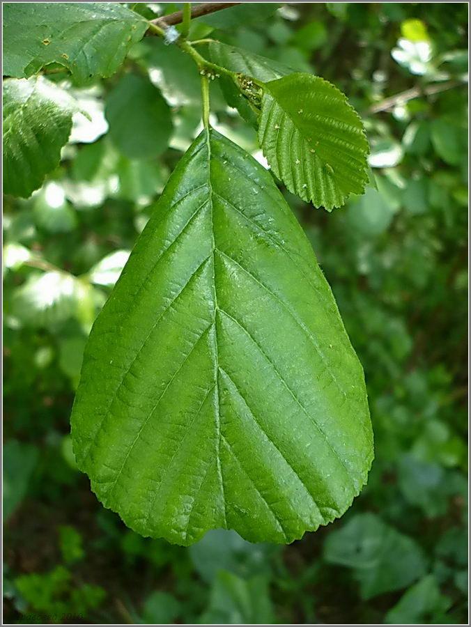 http://www.plantarium.ru/page/image/id/56901.html