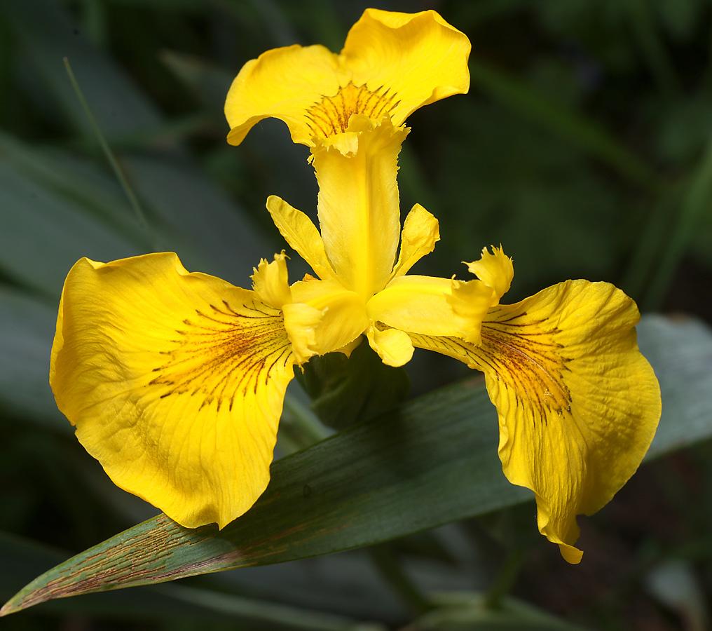 Ирис ложноаирный (Iris pseudacorus) Автор фото: Виталий Гуменюк