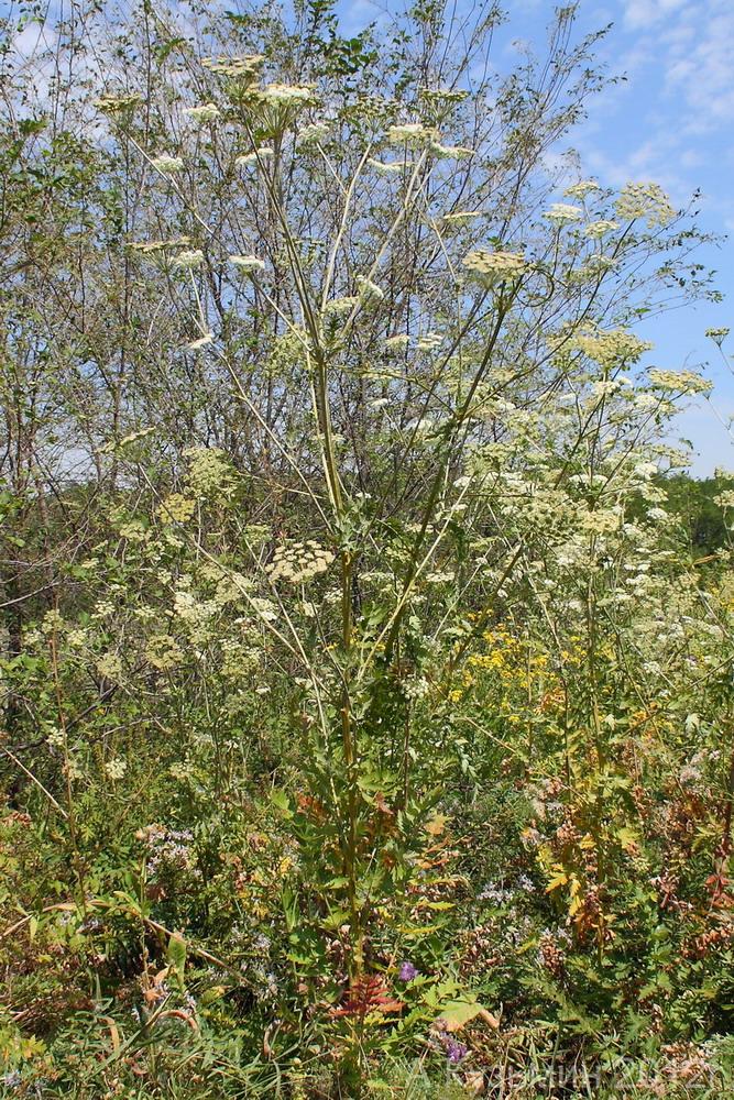 Жабрица порезниковая (Seseli libanotis)