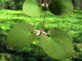 Cercidiphyllum magnificum