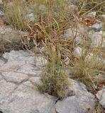 Brachypodium retusum
