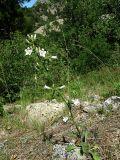 Campanula taurica