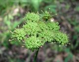 Oenanthe pimpinelloides