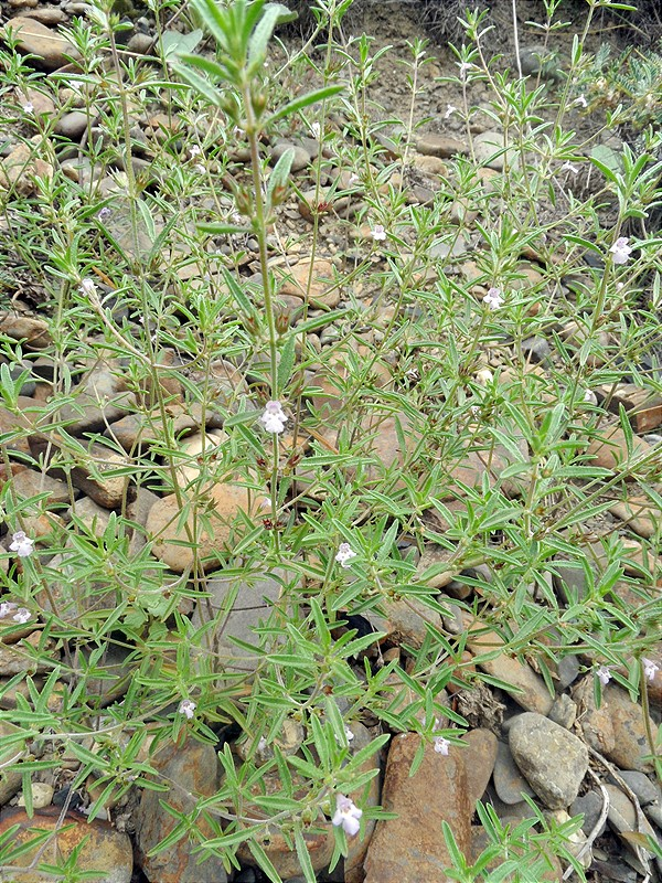 чабер  растения
