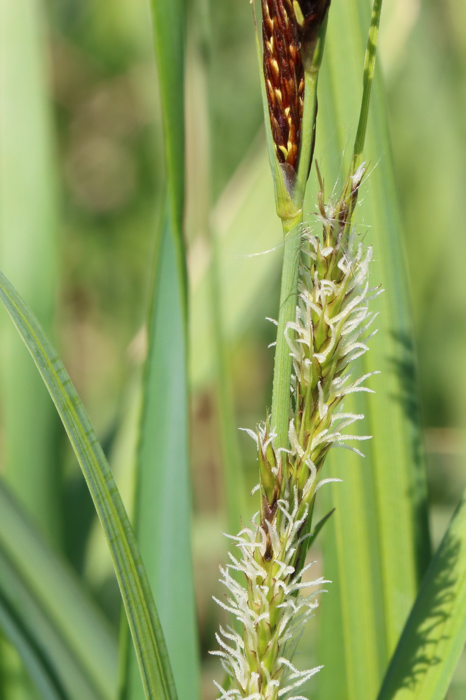 Осока береговая (Carex riparia)