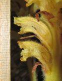 Orobanche flava